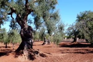 Olivos viejísimos por el agreste interior de la Puglia, tan auténtico y tan mediterráneo.