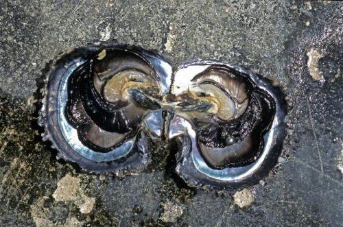 Ostra Pinctada Margaritífera, de la que nacen las perlas negras de la Polinesia