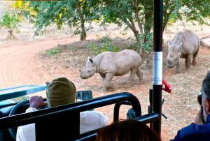 Rinocerontes en una zona protegida de Zimbabwe