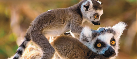 Lémures de Madagascar