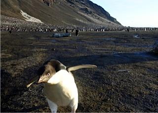 Inmensas colonias de pingüinos Adelia en la Antártida.